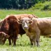 Glückliche mit Gras ernährte Rinder sind besser für die Gesundheit